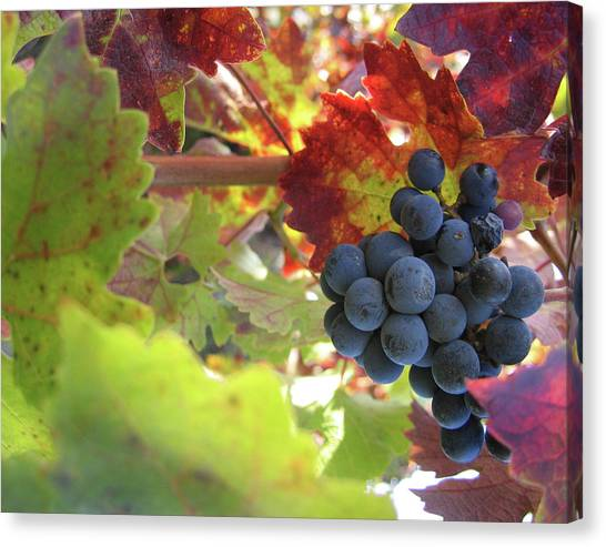 Sonoma Valley Canvas Print - Cabernet by Dharmeson