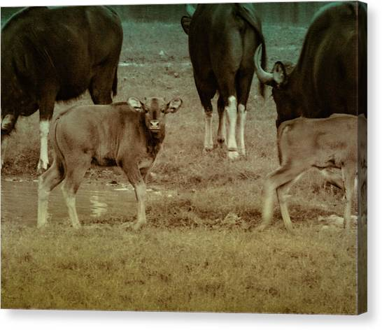 Calf Posing Canvas Print
