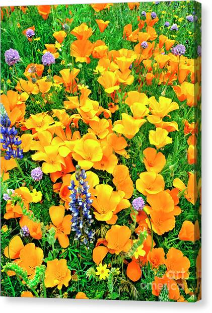 California Poppies And Betham Lupines Southern California Canvas Print