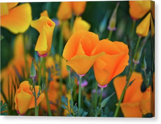 California Poppies Lake Elsinore Canvas Print