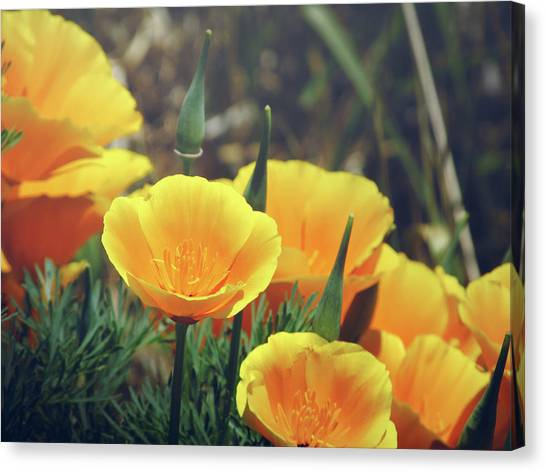 Californian Poppies In The Patagonia Canvas Print