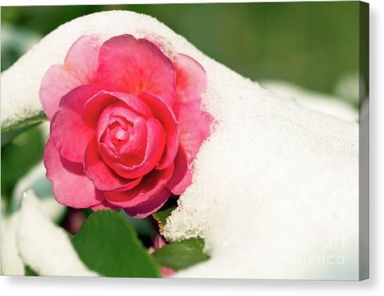Camellias Canvas Print - Camellia Under The Snow by Delphimages Photo Creations