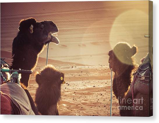 Caravan Canvas Print - Camels In The Desert During A Rest by Luisa Puccini