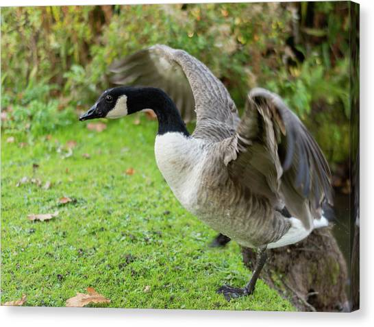 Canvas Print featuring the photograph Canadian Goose With Wings Stretched by Scott Lyons