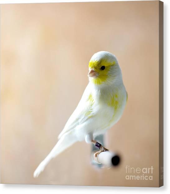 Beauty Canvas Print - Canary Bird Sitting On A Twig by Pieropoma