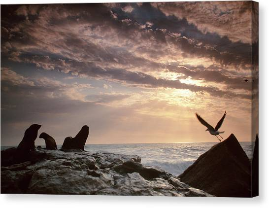 Cape Fur Seals Arctocephalus P Canvas Print