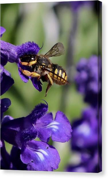 Carder Bee On Salvia Canvas Print