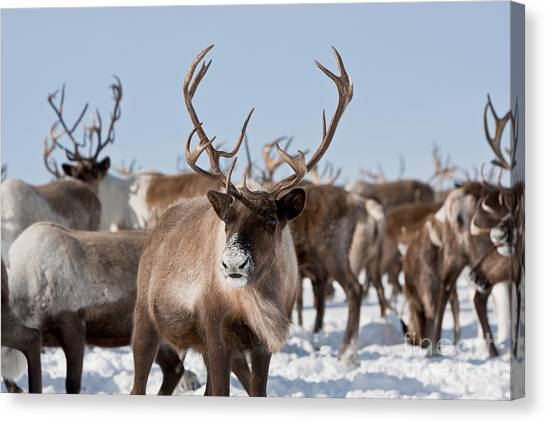 Zoology Canvas Print - Caribou Group On Pastures In The by Sergey Krasnoshchokov