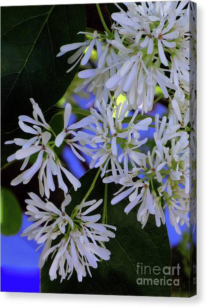 Canvas Print featuring the photograph Carly's Tree - The Delicate Grow Strong by Rick Locke