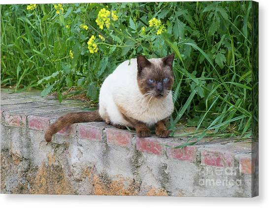 Canvas Print featuring the photograph Cat On A Wall by PJ Boylan