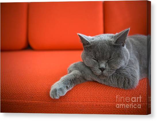 British Canvas Print - Cat Relaxing On The Couch by Ac Manley