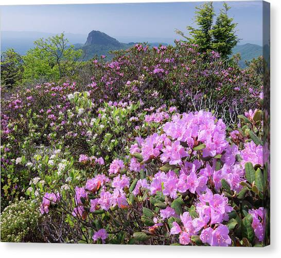 Catawba Rhododendron Table Rock  Canvas Print