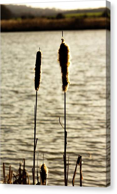 Cattails In The Sun Canvas Print