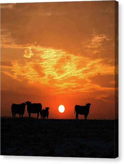 Cattle At Sunset Canvas Print by Jake Olson Studios Blair Nebraska