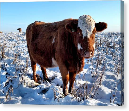 Cattle In Snow Field Canvas Print