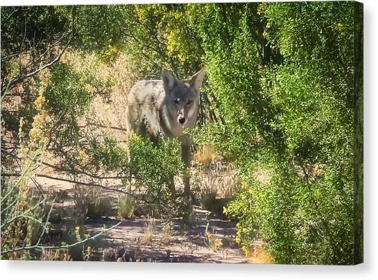 Cautious Coyote Canvas Print
