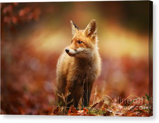 British Canvas Print - Cautious Fox Stopped At The Edge Of The by Michal Ninger