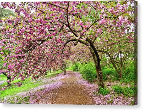 Central Park Cherry Blossoms Canvas Print