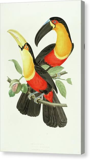 Toucans Canvas Print - Channel-billed Toucan by Jean-Theodore Descourtilz