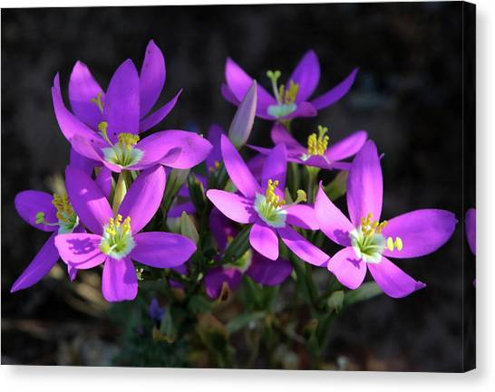Charming Centaury Canvas Print by Robin Street-Morris