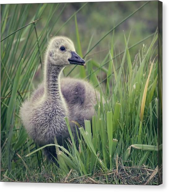 Cheeky Goose With His Tongue Out Canvas Print by Blackcatphotos