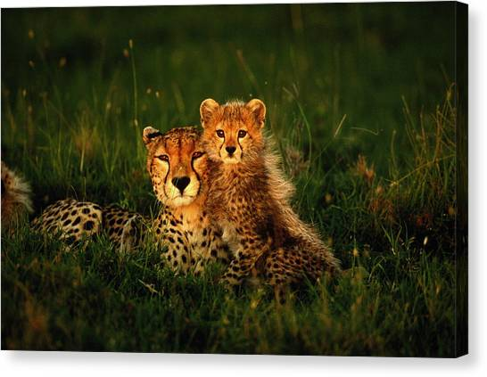 Cheetah Acinonyx Jubatus With Cubs In Canvas Print by Art Wolfe