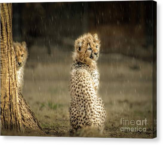 Cheetah Cubs And Rain 0168 Canvas Print