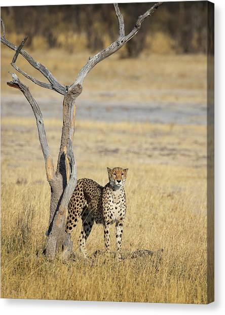 Canvas Print featuring the photograph Cheetah by John Rodrigues