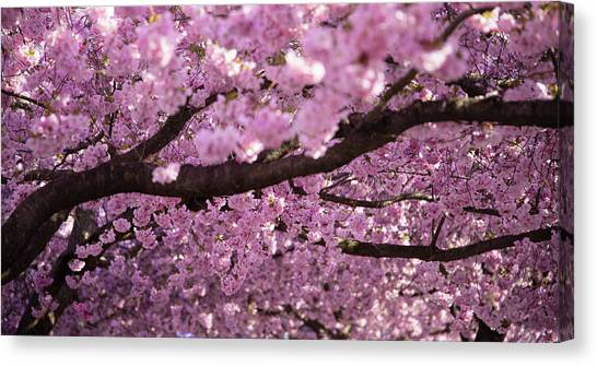 Cherry Blossom Canvas Print - Cherry Blossom Tree Panorama by Nicklas Gustafsson