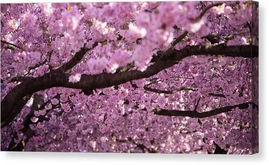 Botanical Garden Canvas Print - Cherry Blossom Tree Panorama by Nicklas Gustafsson