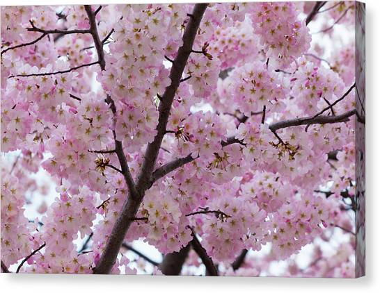 Cherry Blossoms 8611 Canvas Print