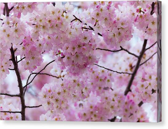 Cherry Blossoms 8625 Canvas Print