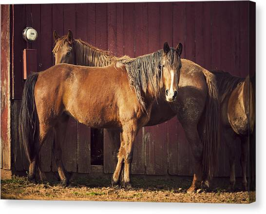 Chestnut Horses Canvas Print by Thepalmer