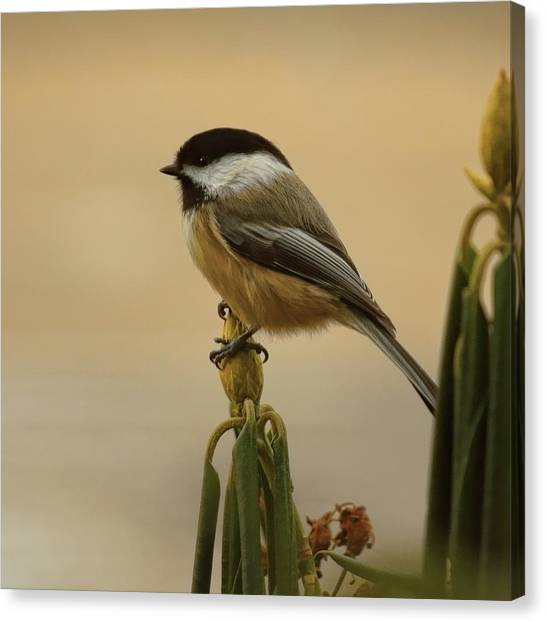Chickadee On Rhododendron Canvas Print