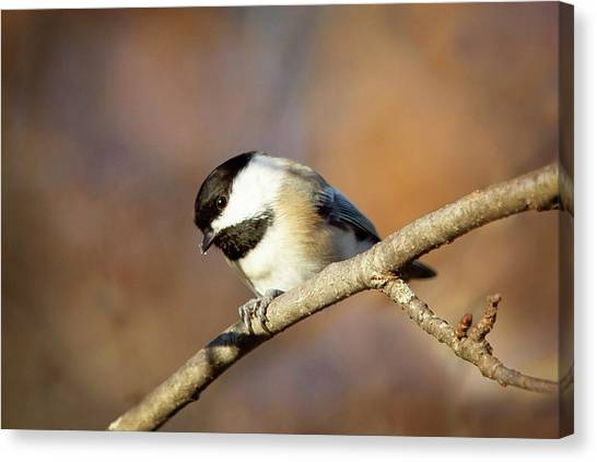 Canvas Print featuring the photograph Chickadee by Sue Collura
