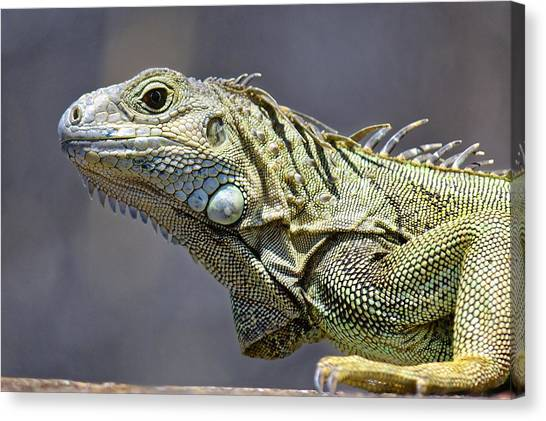 Chicken Of The Trees - Iguana Canvas Print