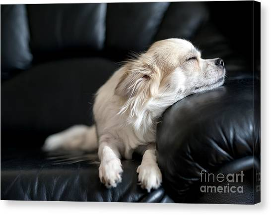 View Canvas Print - Chihuahua Dog Dozing On Black  Leather by Art Nick