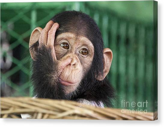 Humorous Canvas Print - Chimpanzee Face by Apple2499
