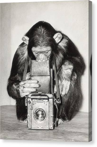 Chimpanzee Looking Through Vintage Box Canvas Print