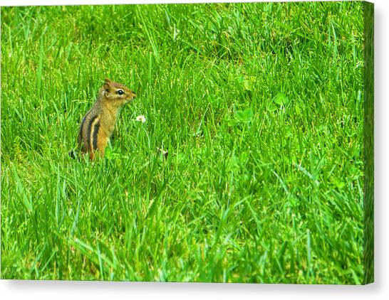 Chipmunk And The Flower Canvas Print