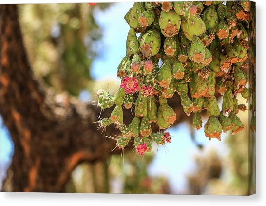 Canvas Print featuring the photograph Cholla Cactus Blooms by Dawn Richards