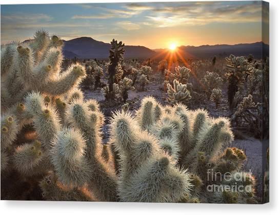 Chollas Cactus Sunrise Joshua Tree Canvas Print by Sierralara