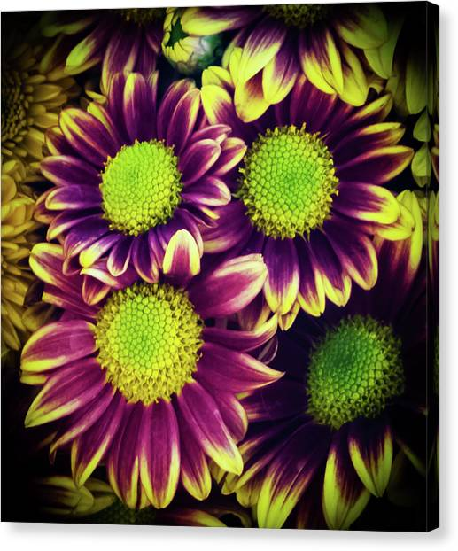 Chrisantemum Canvas Print