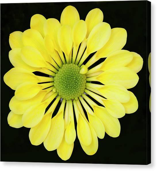 Chrysanthemum Canvas Print by Andrew Dernie