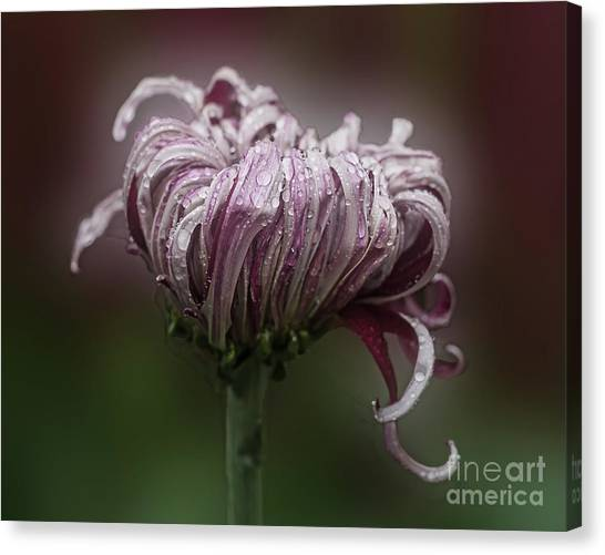 Canvas Print featuring the photograph Chrysanthemum 'lily Gallon' by Ann Jacobson