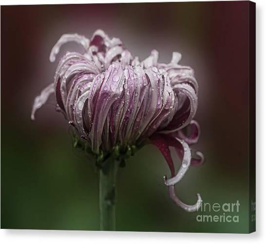 Chrysanthemum 'lily Gallon' Canvas Print