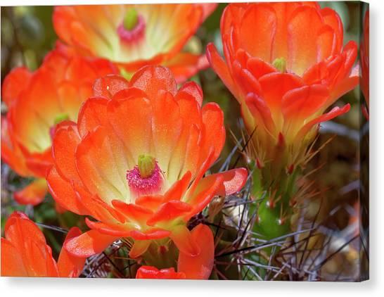 Claret Cup Cactus Flowers, Echinocereus Canvas Print by Adam Jones