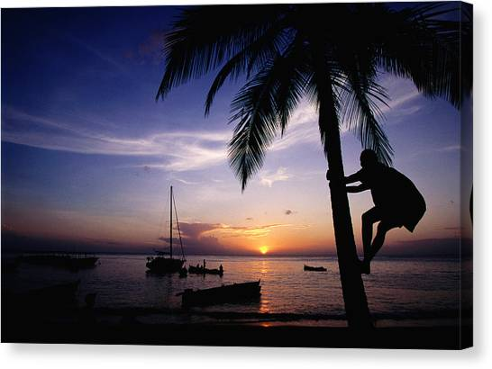 Climbing Coconut Tree At Sunset, Anse Canvas Print