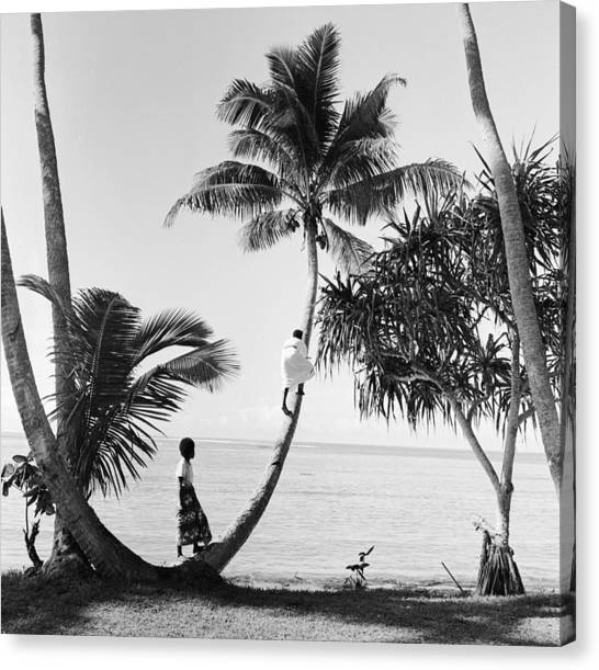 Climbing For Coconuts Canvas Print