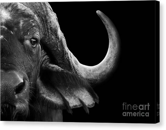 South Buffalo Canvas Print - Close Up Black And White Image Of An by Donovan Van Staden